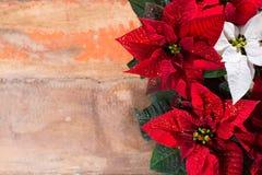 Blommar den röda och vita julstjärnan för julstjärnan, julbackg royaltyfria foton