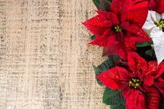 Blommar den röda och vita julstjärnan för julstjärnan, julbackg royaltyfria bilder