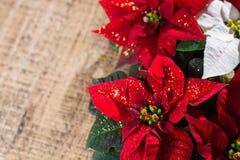 Blommar den röda och vita julstjärnan för julstjärnan, julbackg royaltyfri bild