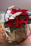Blommar den röda och vita julstjärnan för julstjärnan, juldekoren royaltyfri fotografi
