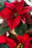 Blommar den röda och vita julstjärnan för julstjärnan, juldekoren royaltyfria bilder