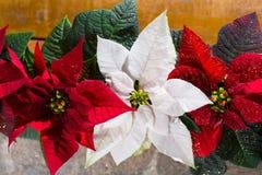 Blommar den röda och vita julstjärnan för julstjärnan, juldekoren royaltyfria foton