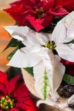 Blommar den röda och vita julstjärnan för julstjärnan, juldekoren arkivbild