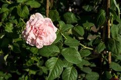 Blommar den röda rosen för closeupen på trädet, söta förälskelsebegrepp, romanska begrepp, makrobilder Arkivbilder