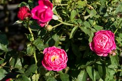 Blommar den röda rosen för closeupen på trädet, söta förälskelsebegrepp, romanska begrepp, makrobilder Royaltyfri Fotografi