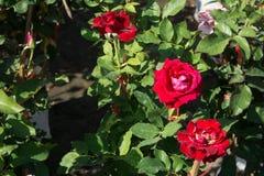 Blommar den röda rosen för closeupen på trädet, söta förälskelsebegrepp, romanska begrepp, makrobilder Arkivfoton