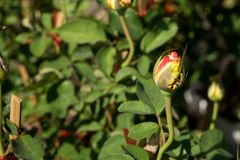 Blommar den röda rosen för closeupen på trädet, söta förälskelsebegrepp, romanska begrepp, makrobilder Arkivfoto