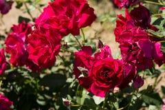 Blommar den röda rosen för closeupen på trädet, söta förälskelsebegrepp, romanska begrepp, makrobilder Arkivbild