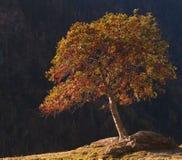 blommar den röda treen Arkivfoton