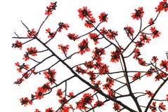blommar den röda fjädern Fotografering för Bildbyråer