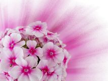 Blommar den rosa vanliga hortensian Arkivfoton
