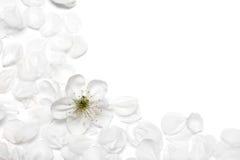 blommar den sakura fjädern Royaltyfria Bilder