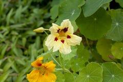 Blommar den stora indiankrassen, närbild Fotografering för Bildbyråer