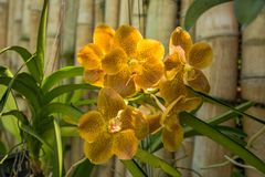 Blommar den tråkiga orkidén för härlig guling i den tropiska trädgården royaltyfri fotografi