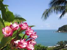 blommar den tropiska frangipanikohsamuien Fotografering för Bildbyråer