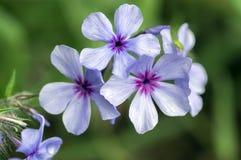 Blommar den violetta lilan för floxdivaricatachattahoocheen, den dekorativa lösa växten i blom arkivbild