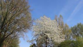 Blommar den vita körsbäret för blomningen med unga sidor lager videofilmer