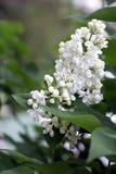 Blommar den vita lilan Royaltyfria Bilder