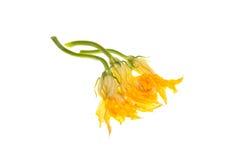 blommar den vita zucchinien Arkivbild