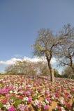 blommar den wild israelen Arkivbilder
