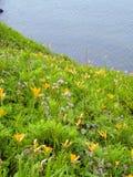 blommar den wild liljan Royaltyfria Foton