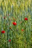 blommar den wild vallmon royaltyfri bild