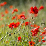 blommar den wild vallmon Arkivbilder