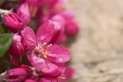 Blommar det dekorativa äpplet Royaltyfria Foton