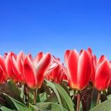 blommar det holländska fältet för den härliga closeupen tulpan Royaltyfri Fotografi