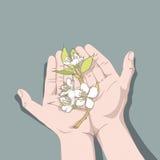 Blommar det körsbärsröda trädet i händer Arkivbilder