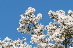 Blommar det vita blomningträdet för magnolian över blå himmel Arkivbild