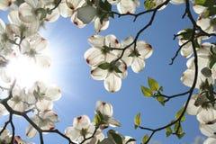 blommar dogwood Arkivfoton