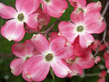 blommar dogwoodtreen Royaltyfri Bild