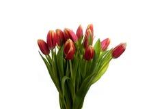 Blommar en bukett från röda tulpan Arkivbild