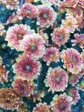 Blommar en Poppin Arkivbilder