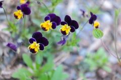Blommar enkelt Royaltyfria Foton
