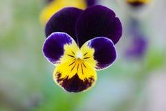 Blommar enkelt Royaltyfri Bild