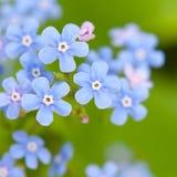 Blommar förgätmigej Fotografering för Bildbyråer