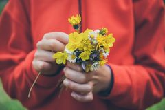 blommar flickaholdingen Bukett av blommor Vårbakgrund Bukett av tusenskönor Makrosikt av härliga vita tusenskönor Royaltyfri Bild
