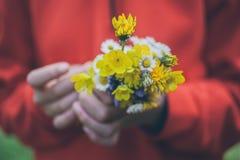 blommar flickaholdingen Bukett av blommor Vårbakgrund Bukett av tusenskönor Makrosikt av härliga vita tusenskönor Royaltyfri Fotografi