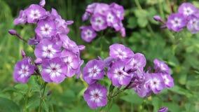 Blommar floxen i trädgården stock video