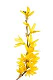 blommar forsythia Royaltyfri Fotografi