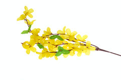 blommar forsythia Arkivbild