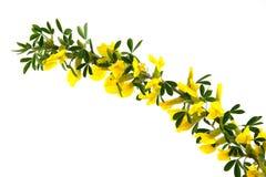 blommar forsythia Royaltyfria Bilder