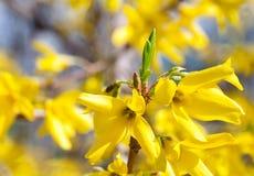 blommar forsythiayellow Fotografering för Bildbyråer