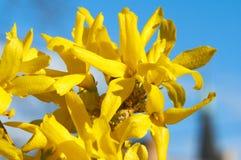 blommar forsythiayellow Arkivfoto