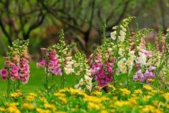 blommar foxgloven Fotografering för Bildbyråer