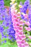 blommar foxglovepink arkivbilder
