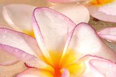blommar frangipane Royaltyfria Bilder