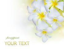 blommar frangipanibrunnsorten Royaltyfri Foto